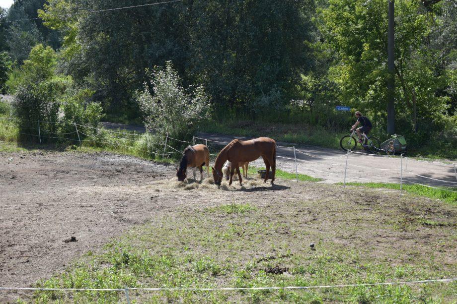 Konie skubiące trawę